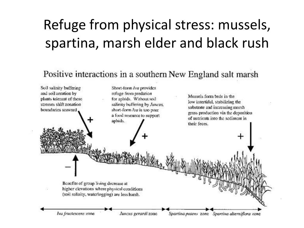 Refuge from physical stress: mussels, spartina, marsh elder and black rush