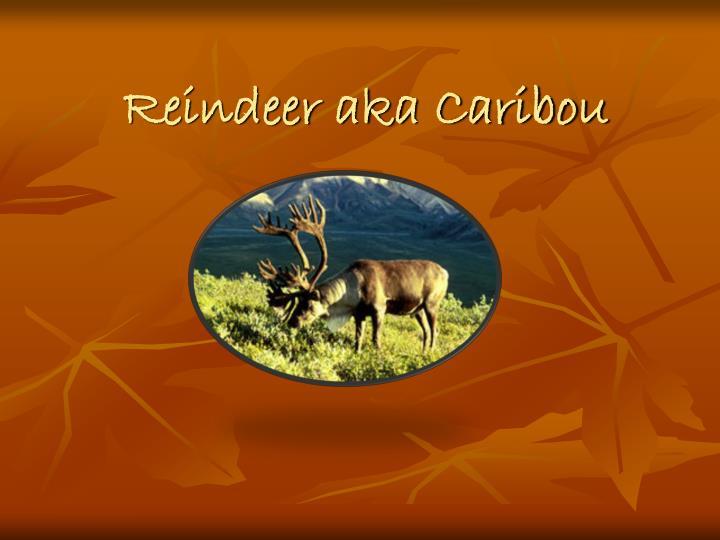 reindeer aka caribou n.