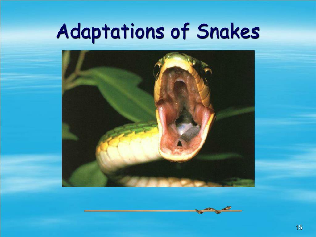 Adaptations of Snakes