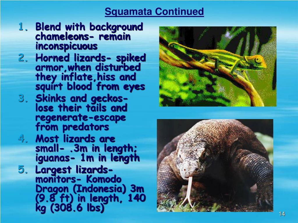 Squamata Continued