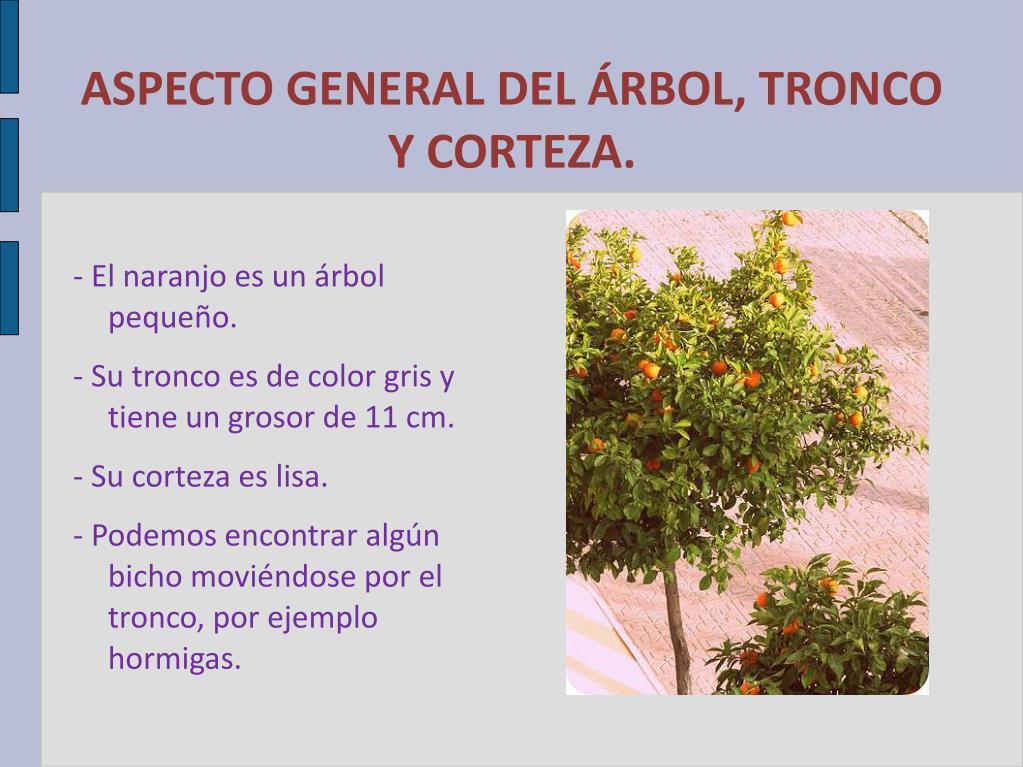 ASPECTO GENERAL DEL ÁRBOL, TRONCO Y CORTEZA.