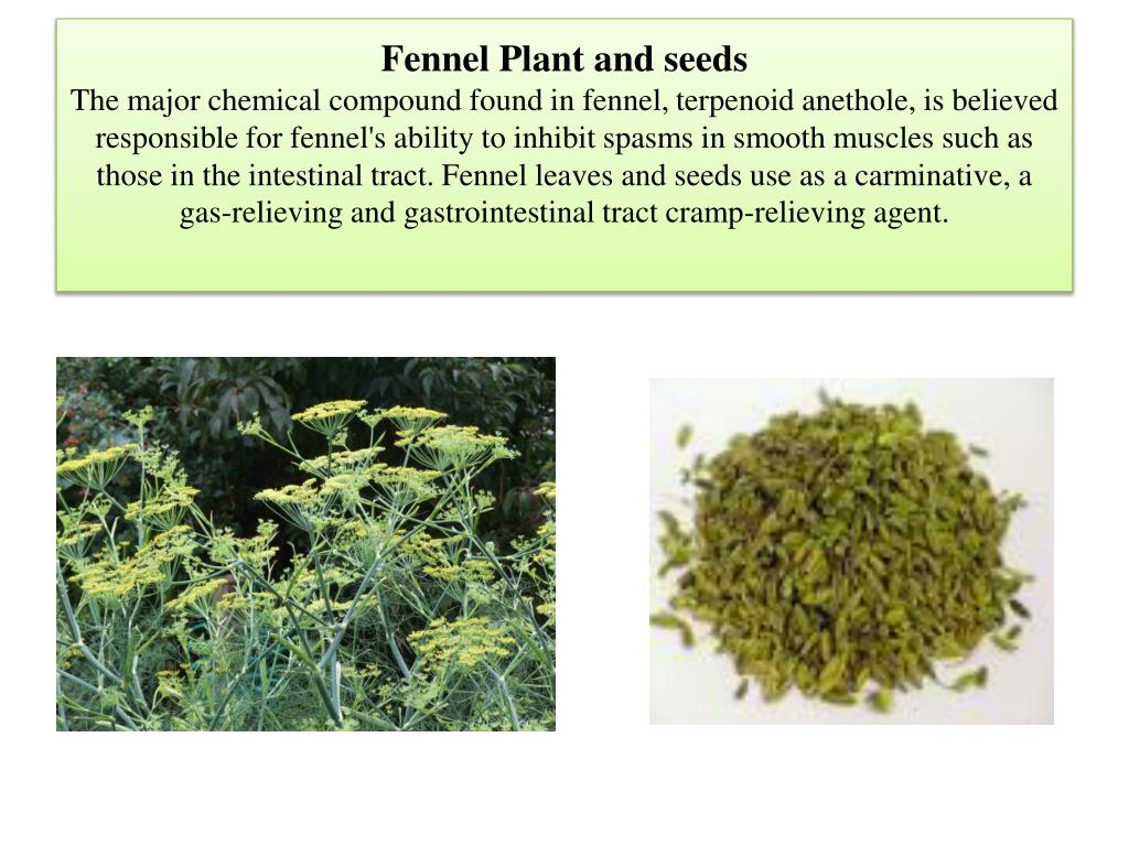 Fennel Plant and seeds