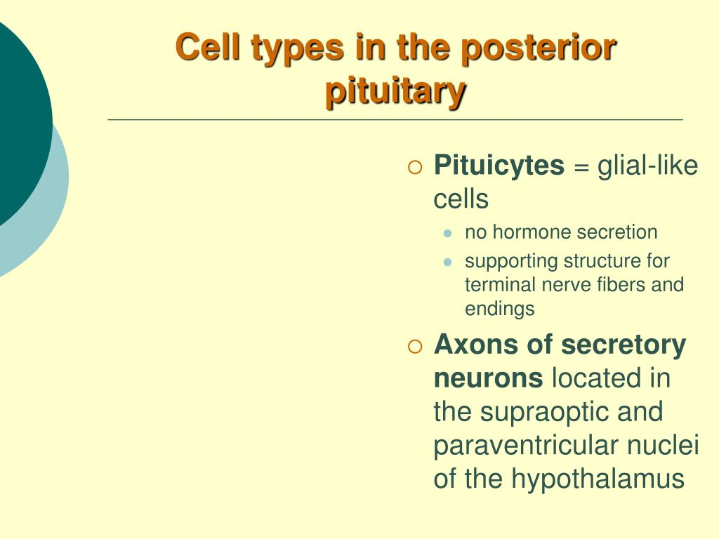 Cell types in the posterior pituitary