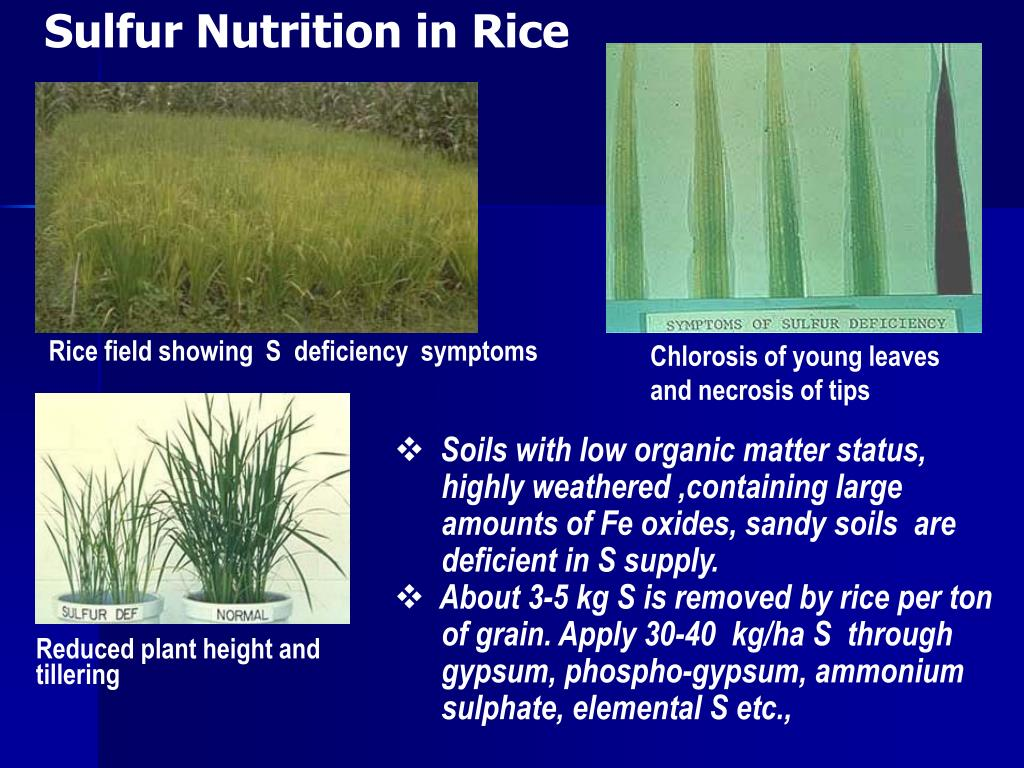 PPT - Efficient Management of Micronutrients in Rice