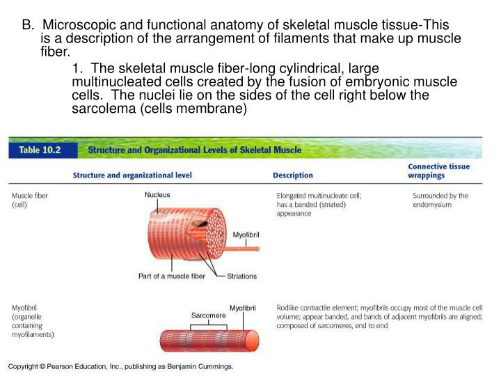 Ppt Muscle Tissue Powerpoint Presentation Id327818