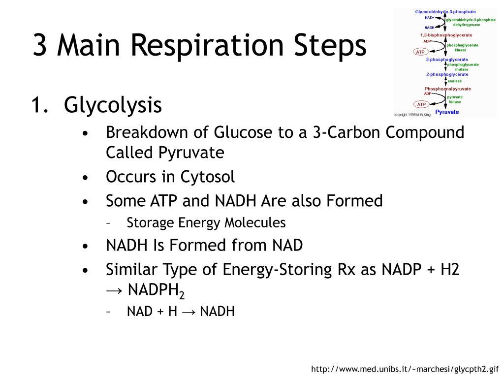3 Main Respiration Steps