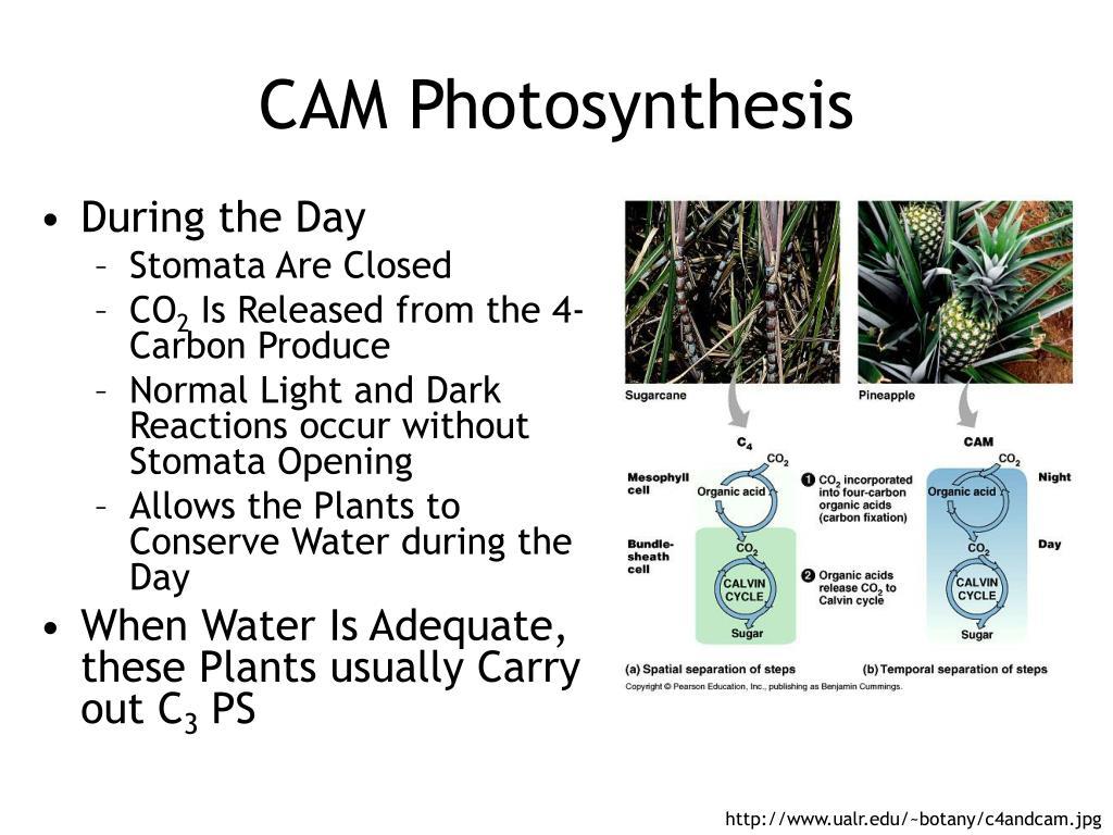 CAM Photosynthesis