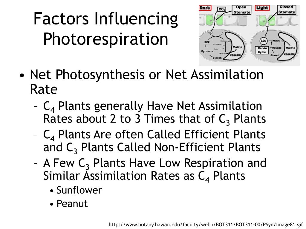 Factors Influencing Photorespiration