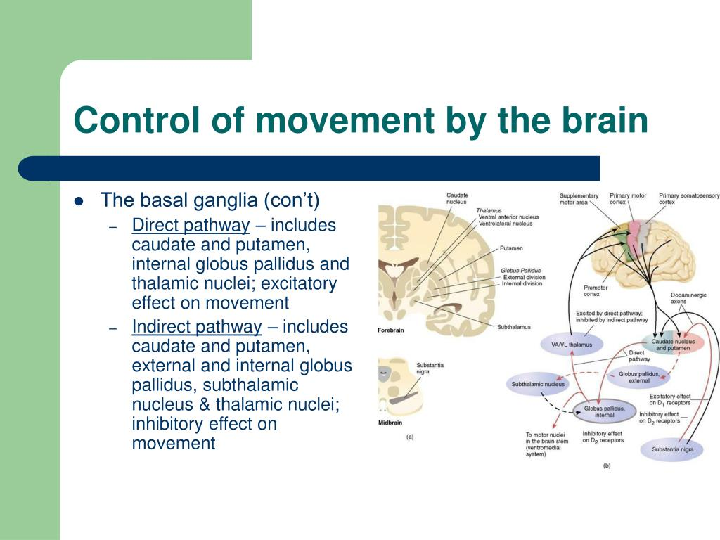 Control of movement by the brain