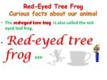 red eyed tree frog curious facts about our animal