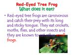 red eyed tree frog what does it eat
