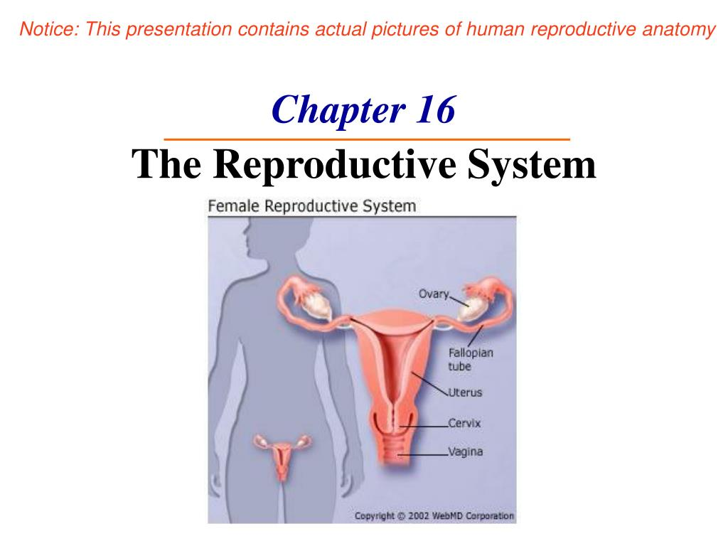 chapter 16 the reproductive system l.
