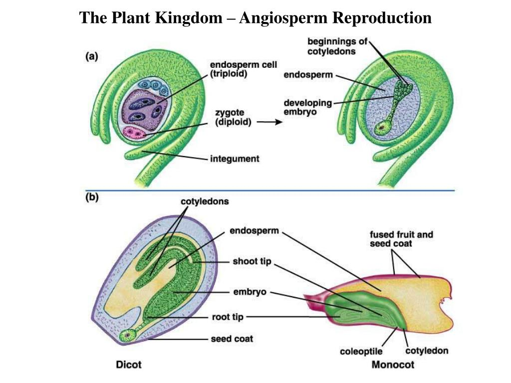 the plant kingdom (or plantae) virtually all other living creatures depend on plants to survive.