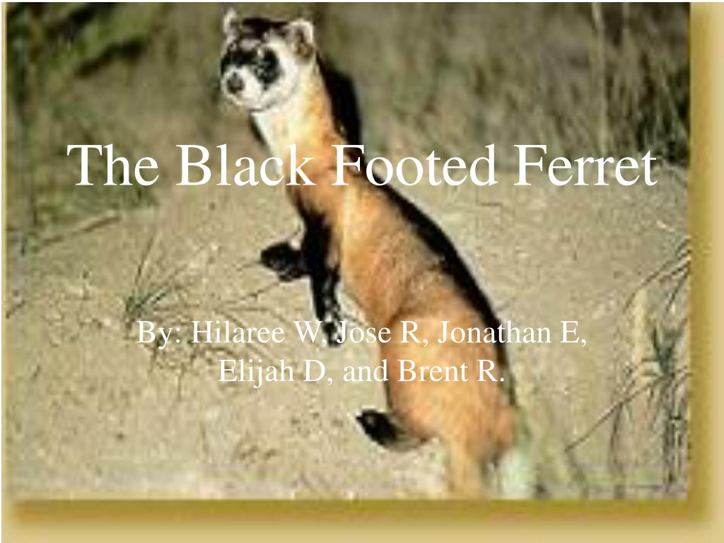 the black footed ferret l.