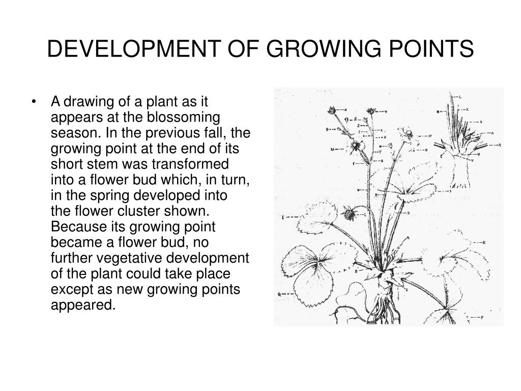 DEVELOPMENT OF GROWING POINTS