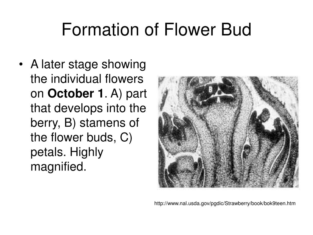 Formation of Flower Bud