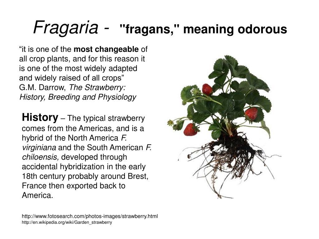 Fragaria -