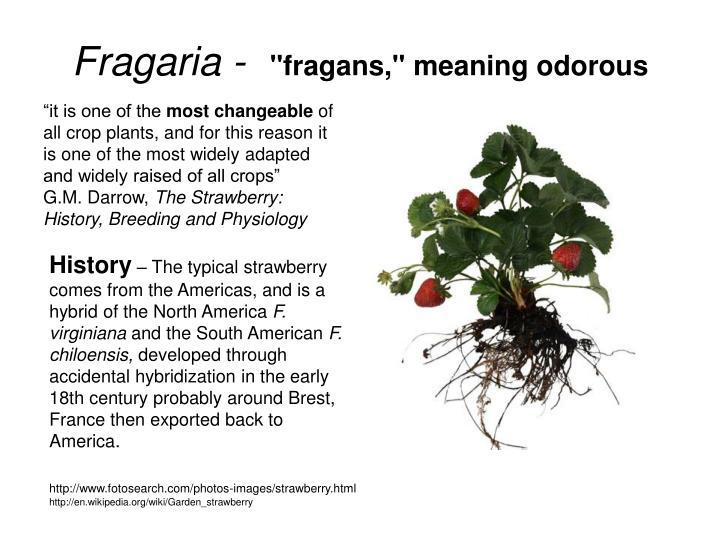 Fragaria fragans meaning odorous
