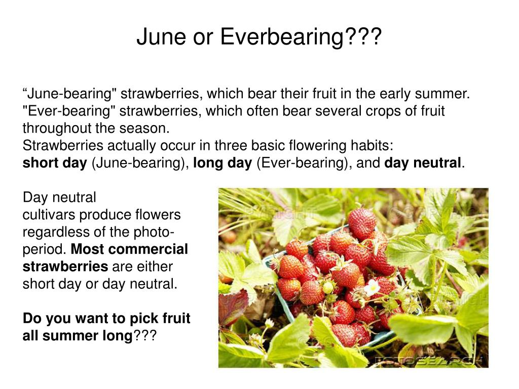 """""""June-bearing"""" strawberries, which bear their fruit in the early summer."""