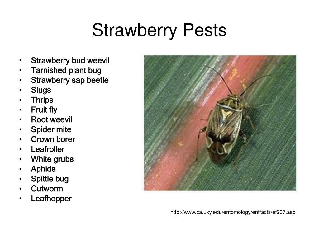 Strawberry Pests