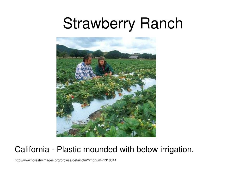 Strawberry Ranch