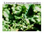 liverwort gemmae cups cupules