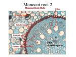 monocot root 2