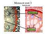 monocot root 3