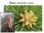 pinus staminate cones