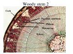 woody stem 2