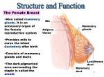 the female breast