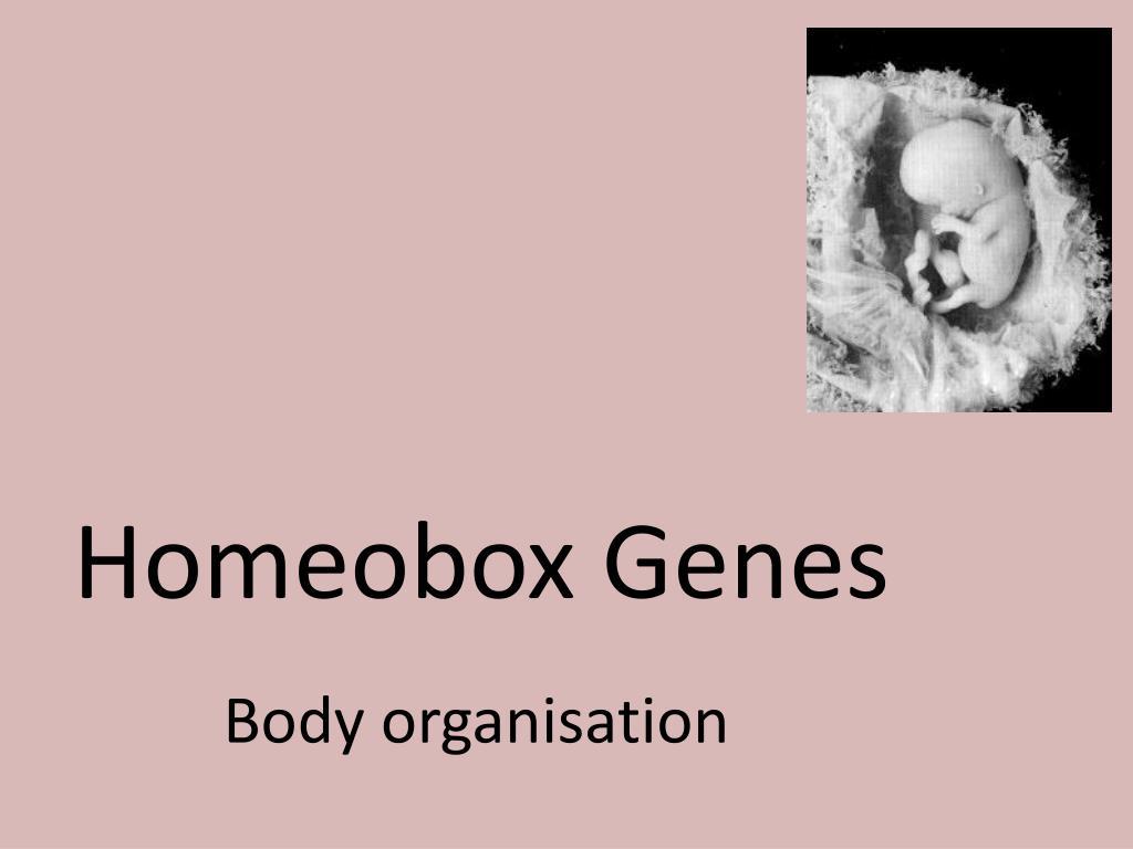 homeobox genes l.