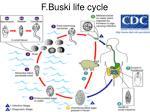 f buski life cycle