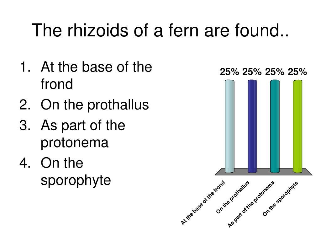 The rhizoids of a fern are found..