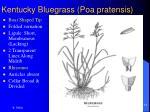kentucky bluegrass poa pratensis14