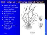tall fescue festuca arundinacea23