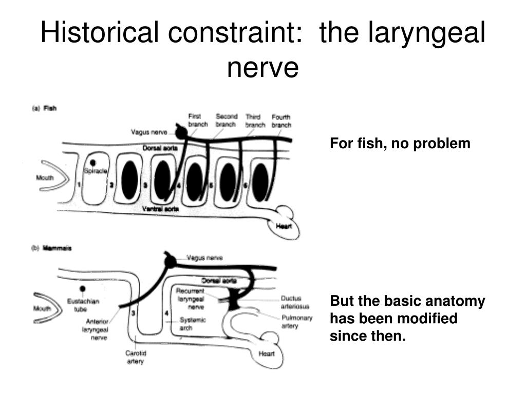 Historical constraint:  the laryngeal nerve