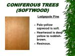 coniferous trees softwood