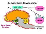 female brain development6
