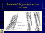 anatomia della giunzione uretero vescicale4