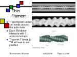 thin filament