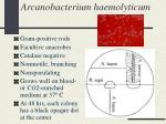 arcanobacterium haemolyticum21