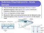 subclass elasmobranchii acute senses