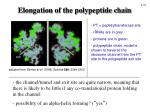 elongation of the polypeptide chain