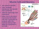 muscle cells and neurons