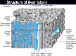 structure of liver lobule