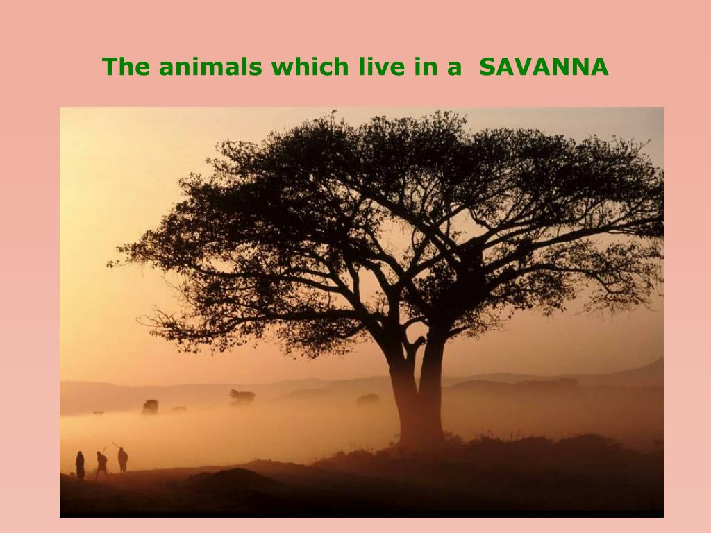 the animals which live in a savanna l.