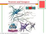 neurons and synapses