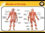 muscles of the body16