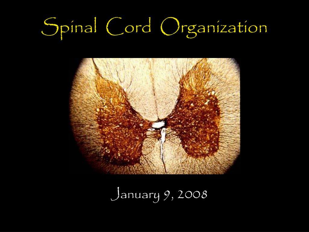 spinal cord organization l.